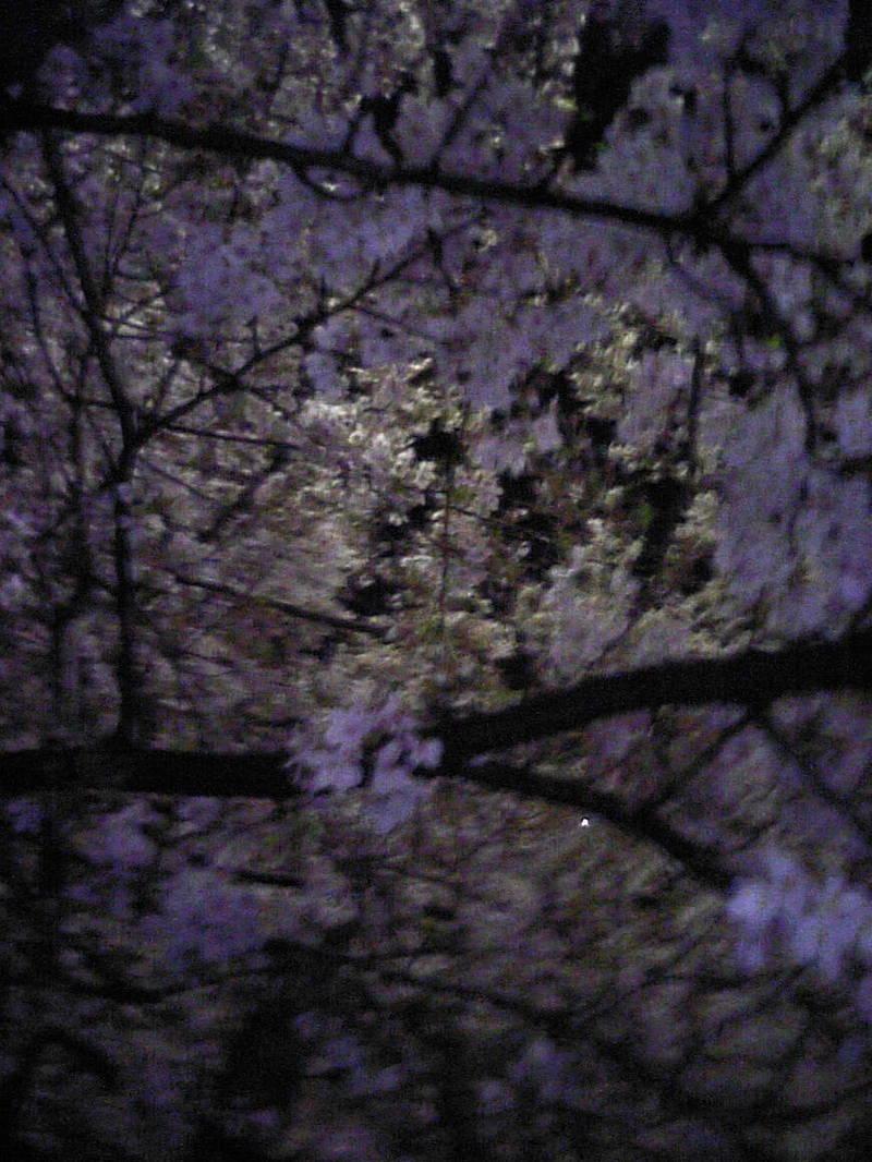 四ッ谷の桜